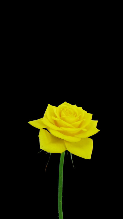 Time-lapse of opening Golden gate rose with ALPHA channel, vertical orientation Footage