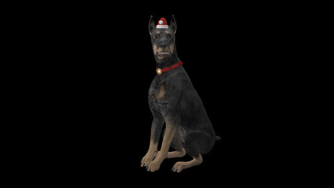 Winter Holiday Dog - Doberman - Transparent Loop Animation