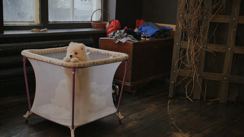 Cute samoyed puppy in the toddler cage net. Wants to get out and play Image