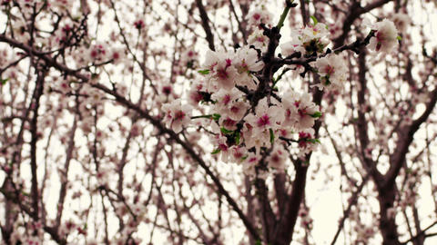 Close up of pink blossoms on tree branch Footage
