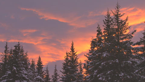 Snowy evergreens at sunset Live Action
