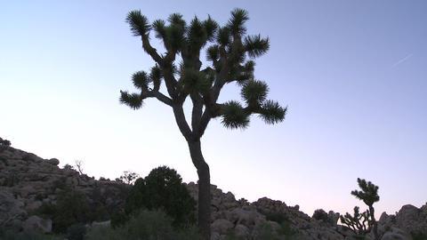 Sunset joshua tree timelapse Live Action