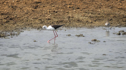 Black Winged Stilts at Sri Lankan Wildlife Sanctuary Footage