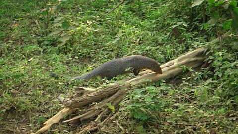 Indian Brown Mongoose in a Sri Lankan Wildlife Refuge Footage