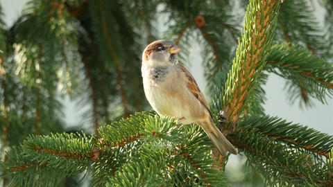 Video of sparrow on the branch in 4K Image