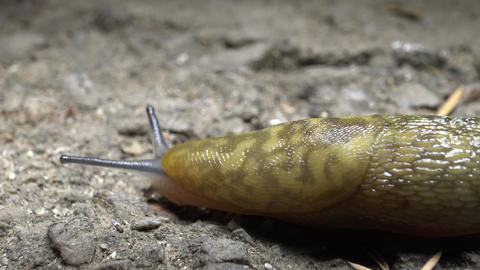 Slug crawling on the ground. Pest of Agriculture Live Action