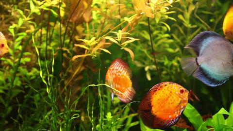 Discus fish swimming in aquarium Footage