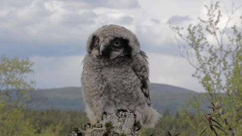 Hawk owl in a mountain forest Footage