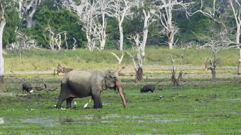 Elephant and Boars Wading in a Swamp in Sri Lankan Sanctuary Live Action