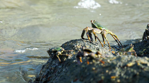 Crabs on the rock at the beach Archivo