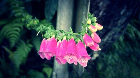 粉燈籠花 金鈴花 Lantern flowers フォト
