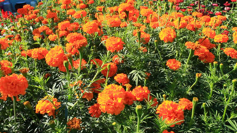 beautiful flowers of marigolds and asters in the garden Footage