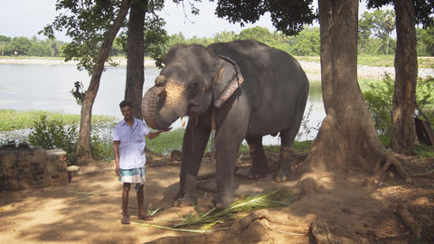 Local handler petting a domesticated elephant at a tourist adventure park Footage