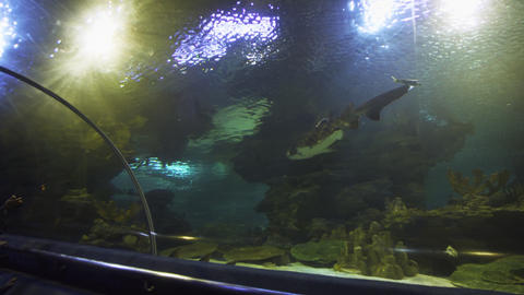 Big shark swimming lazily through an enormous tank at Aquaria KLCC Footage