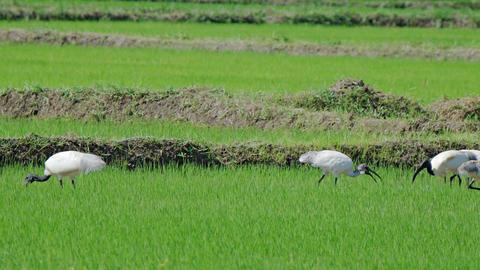 Crowd of Ibis Grazing in Sri Lankan Rice Paddy. Video Footage