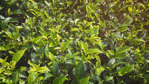Tea Bushes. planted densely on a Sri Lankan Plantation GIF