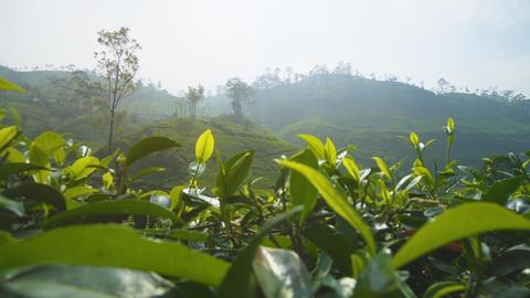 Sri Lankan Tea Farms on Steep. Hilly Terrain. 4k footage Footage