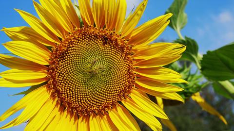 Sunflowers on the field Bild