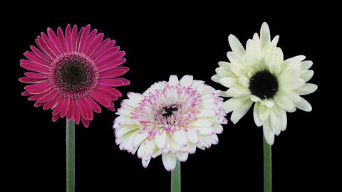 Time-lapse of opening gerbera flowers with ALPHA channel Footage