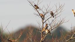 Flock of sparrows Footage