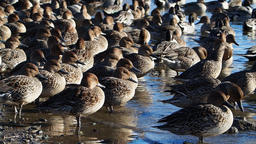 A group of ducks Footage