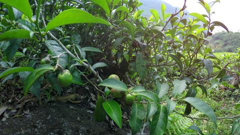Tea Plantation amongst Rolling Hills in Nuwara Eliya. Sri Lanka Footage