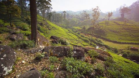 Sri Lankan Hillside Tea Farm from Overlooking Perspective Live Action