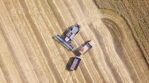Combine harvester harvest wheat on the field. Loading in a truck with a trailer, Footage