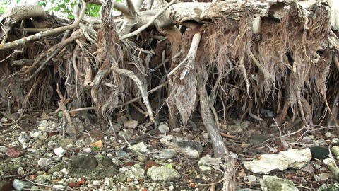 Exposed Roots of a Dead Tree. Undercut by Erosion. FullHD video Footage