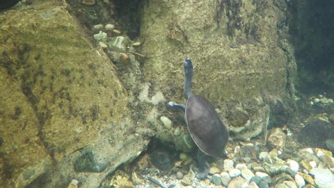 Eastern Long-necked Turtle Underwater at the Zoo. FullHD video Footage