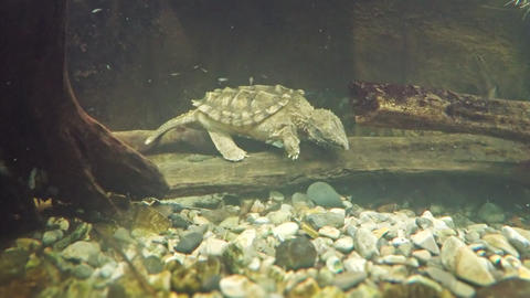 Alligator Snapping Turtle Underwater at the Zoo Footage