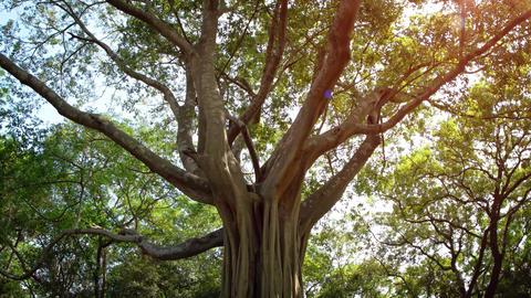 Eerie Tropical Tree in Polonnaruwa. UltraHD 4k video Footage