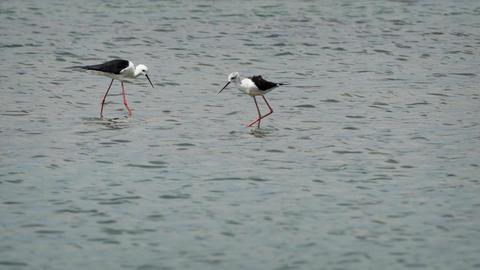 Black Winged Stilts at Yala National Park in Sri Lanka Footage