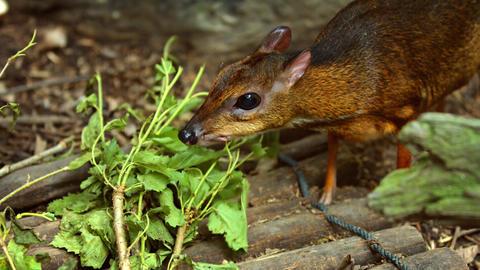 Mouse deer eats fresh leaves Footage