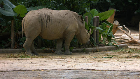 White rhinocerose strolls in its enclosure Live Action