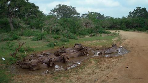 Asian Water Buffalo in a Mud Wallow in Sri Lanka Footage