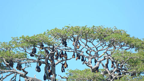 Large Flying Foxes in a Tree in Sri Lanka. Video 4k Footage
