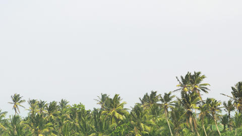 Tropical Palm Forest with Leaves Swaying against a Gray Sky Footage