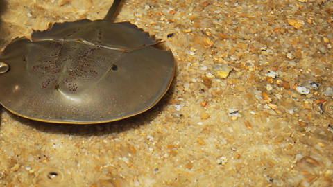 Solitary. Wild Horseshoe Crab in Closeup Footage