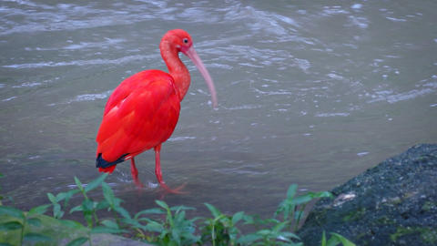 Solitary Scarlet Ibis at a Popular Bird Park. Video Footage