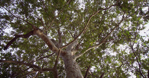 Skyward Perspective of a Mature Tropical Tree. 4k DCI footage Live Action