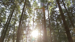 A tilt shot of pine trees in bright sunlight creating a large lens flare Footage