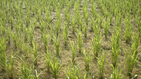 Rice Plantation in Ubud. Bali. Indonesia. 4k footage 2160p Live Action