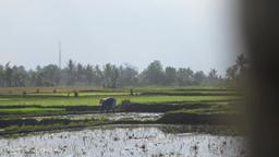 Farmer in an Indonesian Rice Field Footage