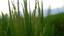 Moving through green rice crops covered in water droplets Footage
