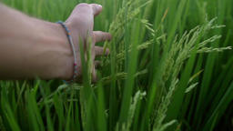 Slow motion clip of a hand while walking through a wheat field Footage