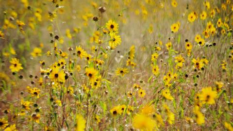 Yellow flower meadow timelapse Footage
