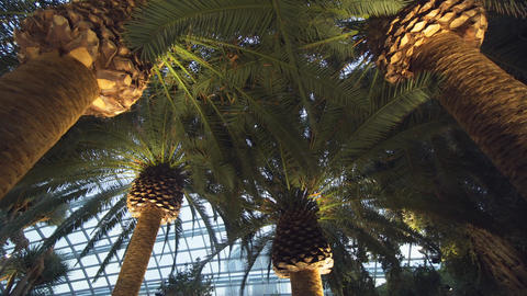 Huge Palm Trees inside the Flower Dome. 4k footage 2160p Footage