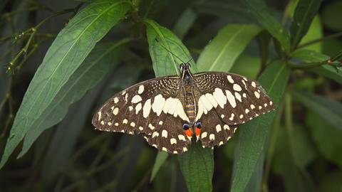 Solitary Lime Swallowtail Butterfly on a Leaf. UHD 4k video Footage