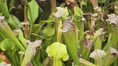 Pitcher Plants in Closeup at a Public Garden Park Footage